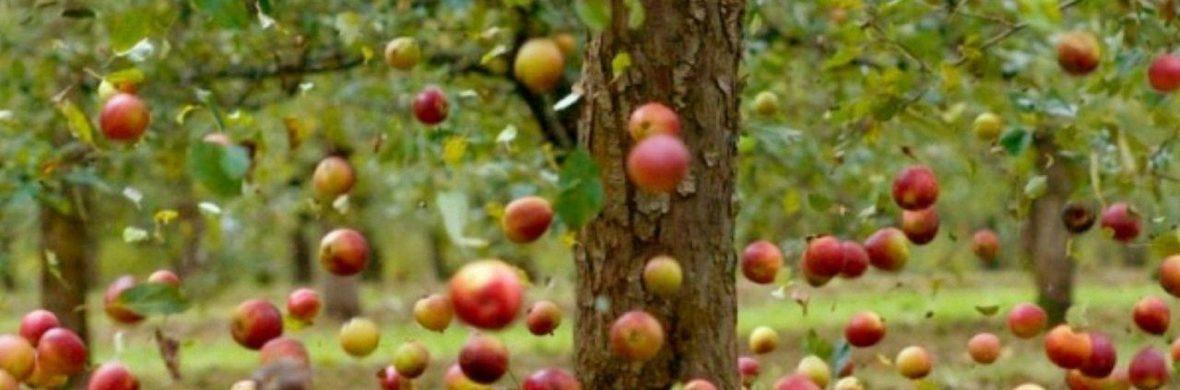 Падение яблок